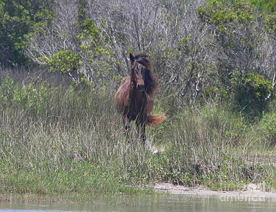 Horse Photograph - Shackleford Pony 2 by Cathy Lindsey