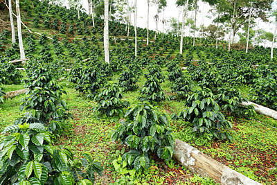 Production Photograph - Shade-grown Coffee Plantation by Dr Morley Read