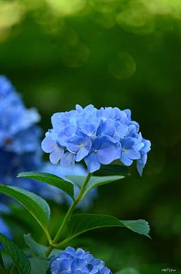 Photograph - Shaded Blue - Hydrangea by Maria Urso