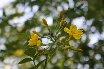 Photograph - Shaded Carolina Jessamine by Tracey Harrington-Simpson