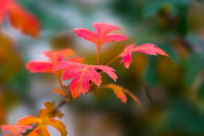 Shades Of Autumn - Red Leaves Art Print by Alexander Senin