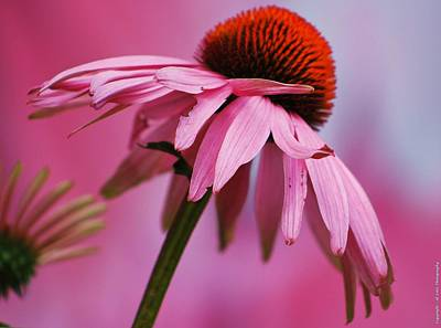 Photograph - Shades Of Pink by Al Fritz
