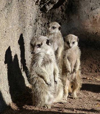 Photograph - Shadow Meerkats by Margaret Saheed