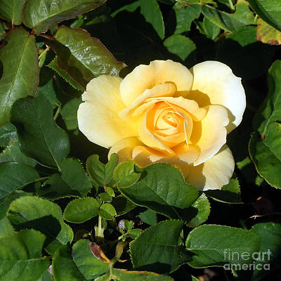 Photograph - Shadowed Yellow Rose by Arizona  Lowe