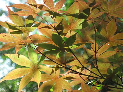 Shadows Of Maple  Art Print