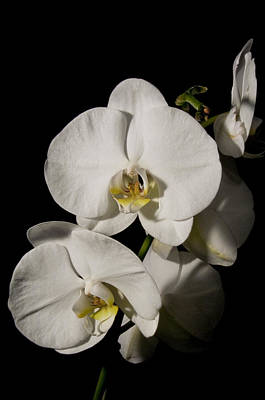 Photograph - Shadowy Orchids by Ron White