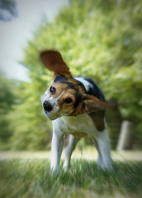 Beagle Dog Photograph - Shake Shake Shake by Cricket Hackmann
