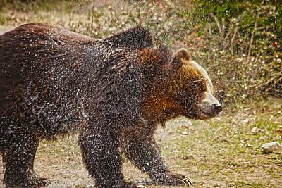 Alaska Wildlife Photograph - Shaking It Off by Karol Livote