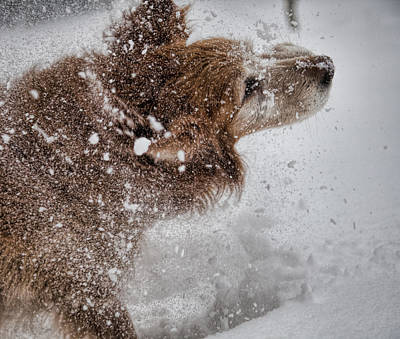 Dogs In Snow Photograph - Shaking Off The Snow by John Crothers