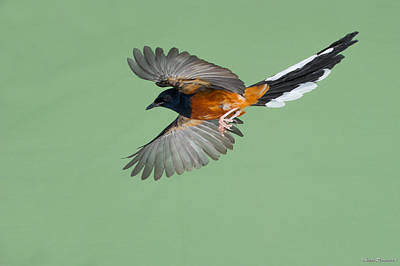 Photograph - Shama Thrush In Flight by Avian Resources