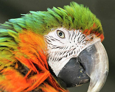 Freedmen Photograph - Shamrock Macaw, First Generation Hybrid by Matt Freedman