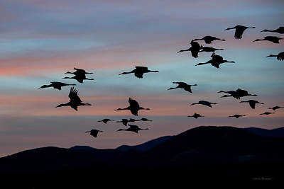 Photograph - Sandhill Cranes Landing At Sunset 2 by Avian Resources