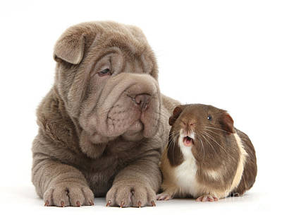 Shar Pei Photograph - Shar Pei Pup And Guinea Pig by Mark Taylor