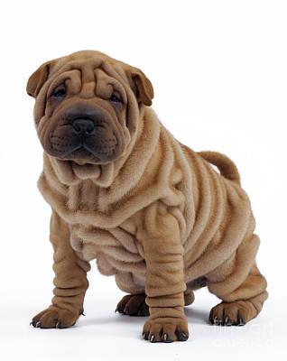 Shar Pei Photograph - Shar Pei Puppy Dog by Jean-Michel Labat
