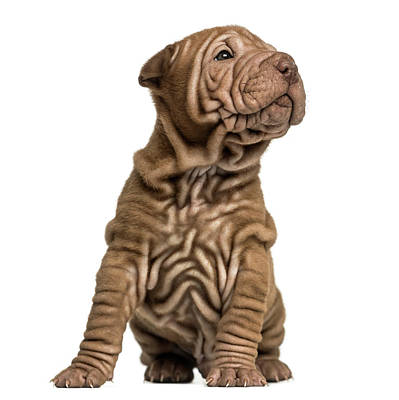 Shar Pei Puppy Sititng, Looking Up Art Print by Life On White