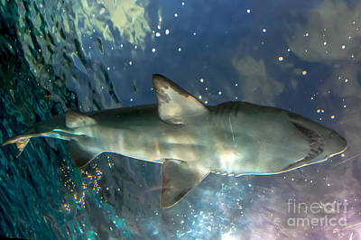 Photograph - Shark Above by Cheryl Baxter