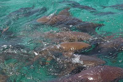 Photograph - Shark Frenzy by Kristina Deane