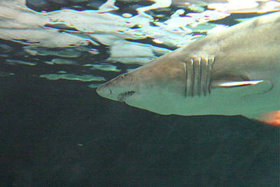 Harbor Photograph - Shark - National Aquarium In Baltimore Md - 121218 by DC Photographer