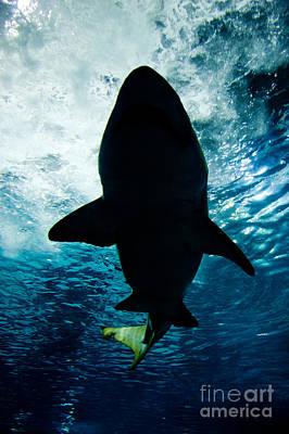 Undersea Photograph - Shark Silhouette Underwater by Michal Bednarek