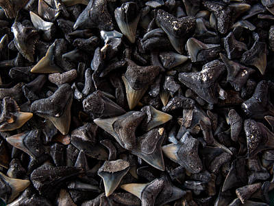 Photograph - Shark Teeth by Randy Sylvia