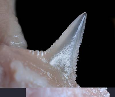 Serration Photograph - Shark Tooth by Science Photo Library