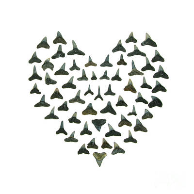 Shark Tooth Valentine Art Print by Jennifer Booher