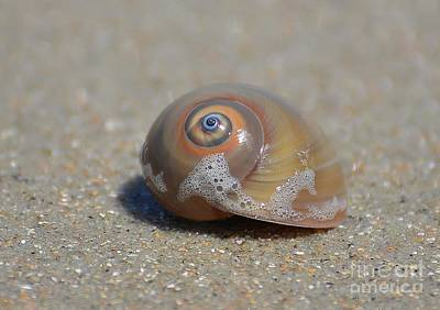 Photograph - Sharks Eye Sea Snail by Kathy Baccari
