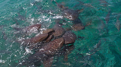 Photograph - Sharks In The Caribbean by Kristina Deane