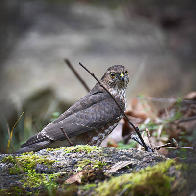 Photograph - Sharp As A Hawk by Ronda Broatch