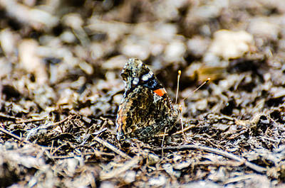 Photograph - Sharp Butterfly by Alan Marlowe