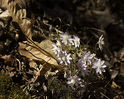Photograph - Sharp Lobed Hepatica Lost Valley Trail by Michael Dougherty
