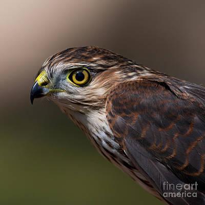 Sharp-shinned Hawk.. Art Print