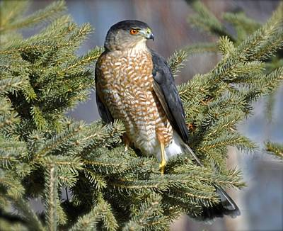 Sharp Shinned Hawk Art Print