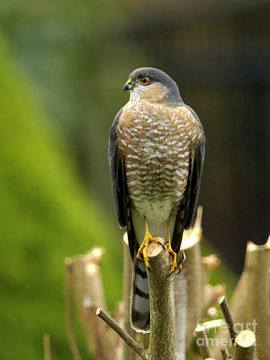 Photograph - Sharp-shinned Hawk by Sharon Talson