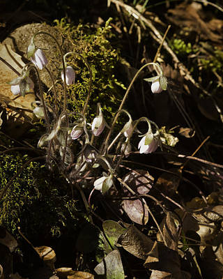 Photograph - Sharped Lobe Hepatica by Michael Dougherty
