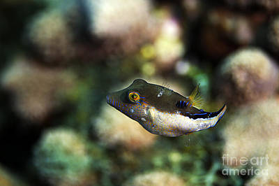 Photograph - Sharpnose Puffer by JT Lewis