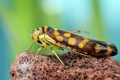 Cicada Photograph - Sharpshooter Treehopper by Nicolas Reusens