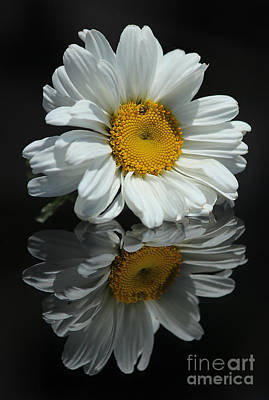 Photograph - Shasta Daisy by Morgan Wright
