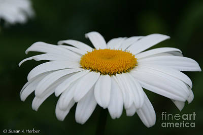Photograph - Shasta Daisy by Susan Herber
