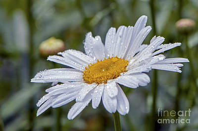 Photograph - Shasta Daisy With Waterdrops by Sharon Talson