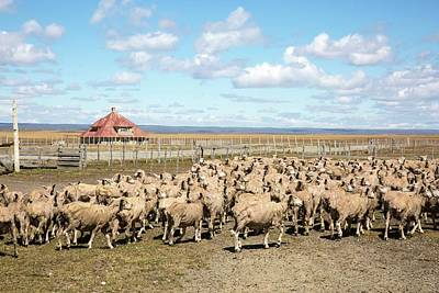 Sheared Sheep On A Patagonian Estancia Art Print by Peter J. Raymond