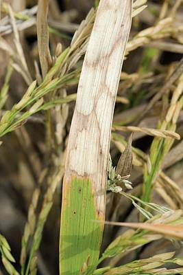 Blight Photograph - Sheath Blight Disease In Rice by Peggy Greb/us Department Of Agriculture