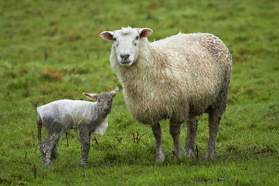 Baby Wool Photograph - Sheep And Lamb With Plastic Coat by David Wall