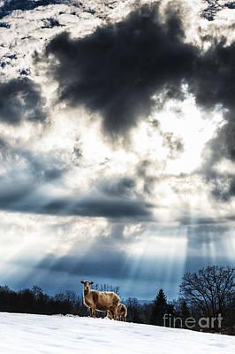 Sheep And Sun Rays Print by Thomas R Fletcher