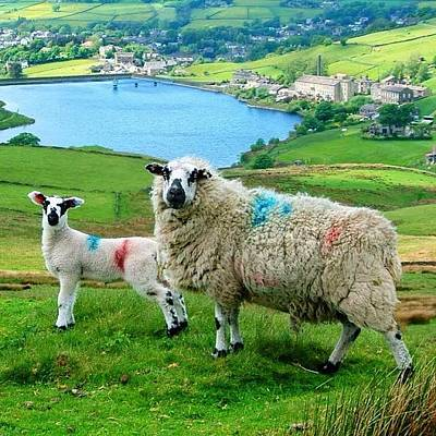 Sheep Photograph - Sheep At Oxenhope. #landscape by David Cook