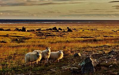 Photograph - Sheep At Sundown  by Sarah Pemberton
