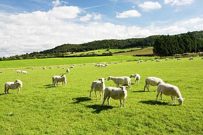 Vale Photograph - Sheep Beneath Bredon Hill by Ashley Cooper