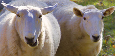 Photograph - Sheep Buddies by Natalie Rotman Cote