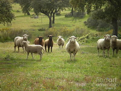 Photograph - Sheep In Extremadura by Chani Demuijlder