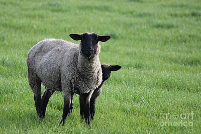 Photograph - Sheep by Erica Hanel